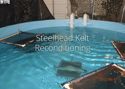 Steelhead Kelts